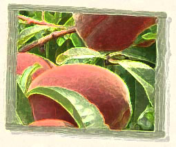 The aroma of peaches. Fiction by Mary McNulty.